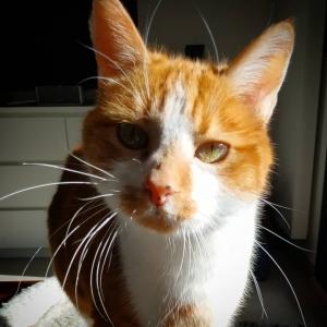 Abricot - Galerie photos de chats par Ô p'tits félins Annecy