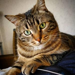 Balou - Galerie photos de chats par Ô p'tits félins Annecy