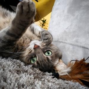 Bambou 2  - Galerie photos de chats par Ô p'tits félins Annecy