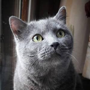 Batman  - Galerie photos de chats par Ô p'tits félins Annecy