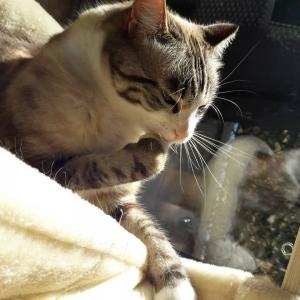 Benji  - Galerie photos de chats par Ô p'tits félins Annecy