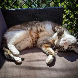Benji 1  - Galerie photos de chats par Ô p'tits félins Annecy