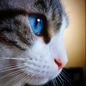 Benji 2  - Galerie photos de chats par Ô p'tits félins Annecy