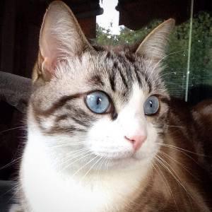 Benji 5  - Galerie photos de chats par Ô p'tits félins Annecy