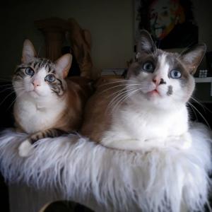 Benji_Scoob  - Galerie photos de chats par Ô p'tits félins Annecy