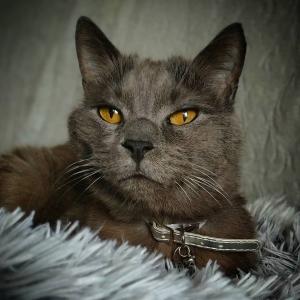 Bilou  - Galerie photos de chats par Ô p'tits félins Annecy