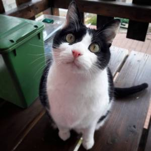 Biquick  - Galerie photos de chats par Ô p'tits félins Annecy