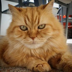 Blanche 1  - Galerie photos de chats par Ô p'tits félins Annecy