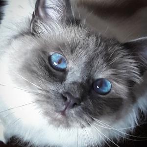 Blue   - Galerie photos de chats par Ô p'tits félins Annecy