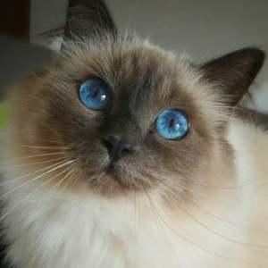 Blue 1  - Galerie photos de chats par Ô p'tits félins Annecy
