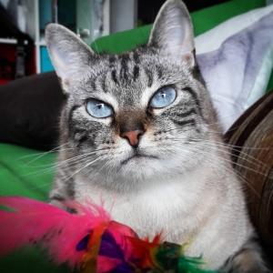 BoBun 1  - Galerie photos de chats par Ô p'tits félins Annecy