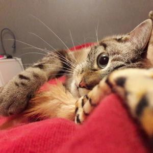 BoBun 2  - Galerie photos de chats par Ô p'tits félins Annecy