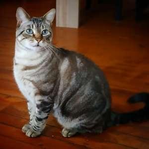Boubou  - Galerie photos de chats par Ô p'tits félins Annecy