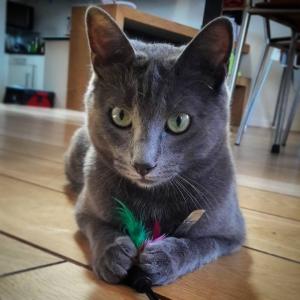 Brume  - Galerie photos de chats par Ô p'tits félins Annecy