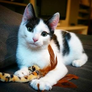 Brume 1  - Galerie photos de chats par Ô p'tits félins Annecy