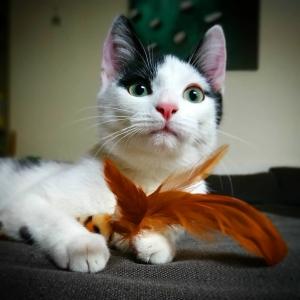 Brume 2  - Galerie photos de chats par Ô p'tits félins Annecy