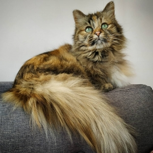 Calinka  - Galerie photos de chats par Ô p'tits félins Annecy