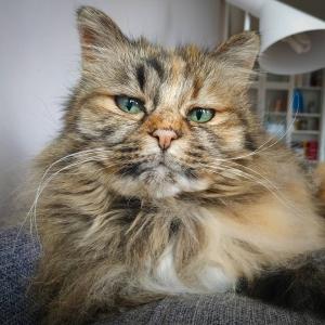 Calinka 1  - Galerie photos de chats par Ô p'tits félins Annecy