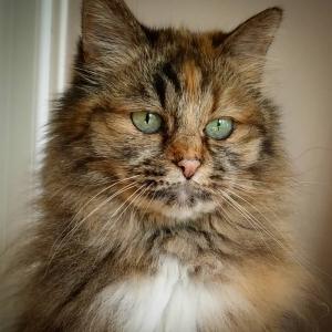 Calinka 2  - Galerie photos de chats par Ô p'tits félins Annecy