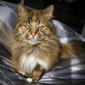 Calinka 3  - Galerie photos de chats par Ô p'tits félins Annecy