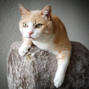 Caramel  - Galerie photos de chats par Ô p'tits félins Annecy
