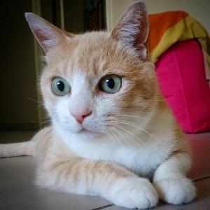 Caramel 2  - Galerie photos de chats par Ô p'tits félins Annecy