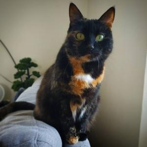 Chacha  - Galerie photos de chats par Ô p'tits félins Annecy