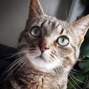 Chawa  - Galerie photos de chats par Ô p'tits félins Annecy