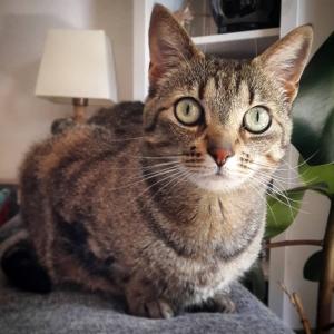 Chawa 1  - Galerie photos de chats par Ô p'tits félins Annecy