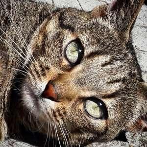 Chawa 2  - Galerie photos de chats par Ô p'tits félins Annecy