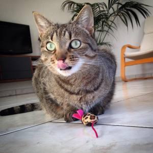 Chawa 3  - Galerie photos de chats par Ô p'tits félins Annecy