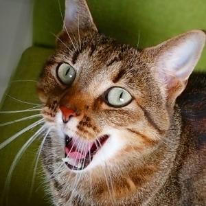 Chawa 5 - Galerie photos de chats par Ô p'tits félins Annecy