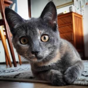 Chili  - Galerie photos de chats par Ô p'tits félins Annecy