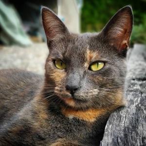 Chili 1 - Galerie photos de chats par Ô p'tits félins Annecy