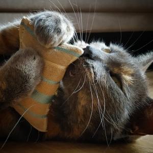 Chili2  - Galerie photos de chats par Ô p'tits félins Annecy