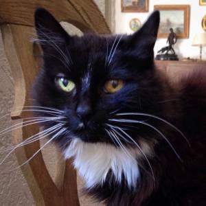 Chipie  - Galerie photos de chats par Ô p'tits félins Annecy