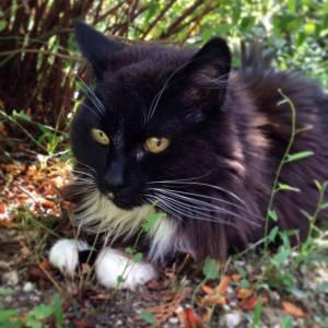 Chipie 1 - Galerie photos de chats par Ô p'tits félins Annecy