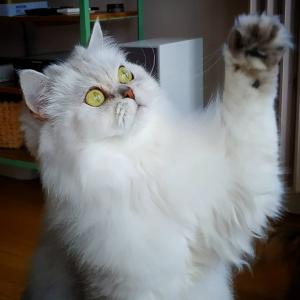 Clovis  - Galerie photos de chats par Ô p'tits félins Annecy