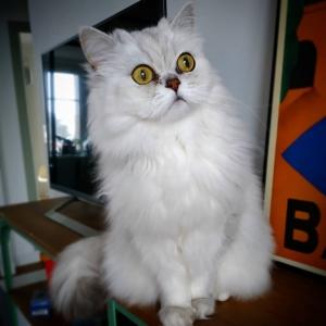 Clovis 2 - Galerie photos de chats par Ô p'tits félins Annecy