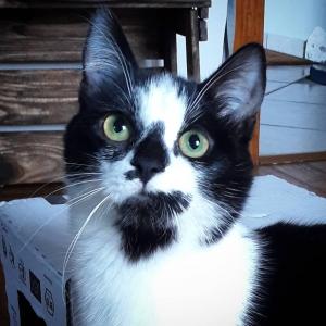Satnam  - Galerie photos de chats par Ô p'tits félins Annecy