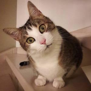 Dabou  - Galerie photos de chats par Ô p'tits félins Annecy