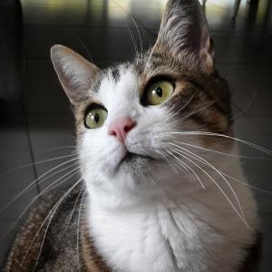 Dabou 1 - Galerie photos de chats par Ô p'tits félins Annecy