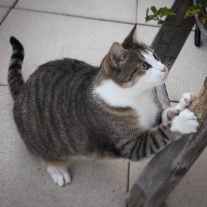Dabou 2 - Galerie photos de chats par Ô p'tits félins Annecy