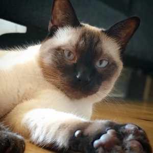 Django  - Galerie photos de chats par Ô p'tits félins Annecy