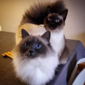 Dune_Django  - Galerie photos de chats par Ô p'tits félins Annecy