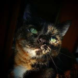 Cookie  - Galerie photos de chats par Ô p'tits félins Annecy