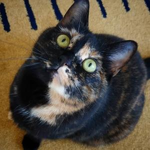 Eden  - Galerie photos de chats par Ô p'tits félins Annecy