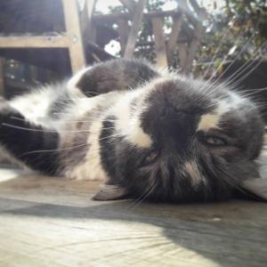 Erton  - Galerie photos de chats par Ô p'tits félins Annecy