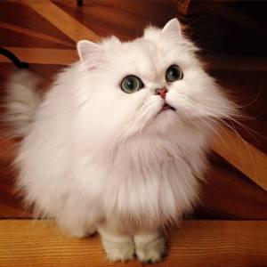 Fakir  - Galerie photos de chats par Ô p'tits félins Annecy