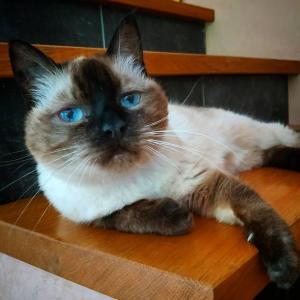 Fifi  - Galerie photos de chats par Ô p'tits félins Annecy